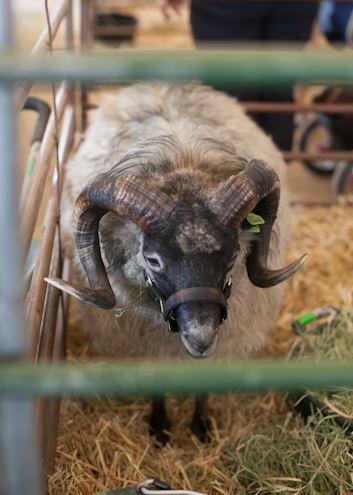 spin-shetland-wool