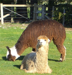 Suris are known for long, ringletted fleeces. Photo by Wikimedia user Sizzlingbadger